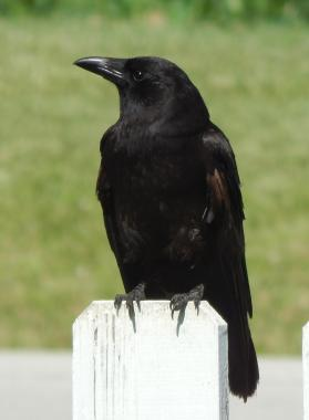 Corvid blog photo